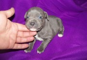 Tested L2HGA / HC CLEAR Staffordshire Bull Terrier Puppies for Sale