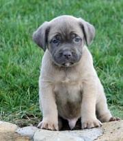 Cane Corso (Italian Mastiff) Puppy